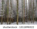 deciduous larch trees  larix... | Shutterstock . vector #1311898322
