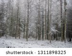 deciduous larch trees  larix... | Shutterstock . vector #1311898325