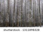 deciduous larch trees  larix... | Shutterstock . vector #1311898328