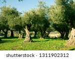 olive trees  olive grove | Shutterstock . vector #1311902312