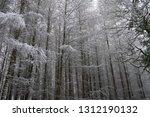 deciduous larch  larix decidua  ... | Shutterstock . vector #1312190132