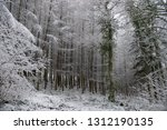 deciduous larch  larix decidua  ... | Shutterstock . vector #1312190135
