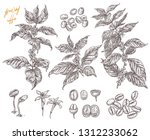 coffee been ripening stages... | Shutterstock .eps vector #1312233062
