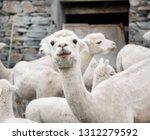 white alpaca herd  funny... | Shutterstock . vector #1312279592