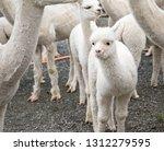white alpaca lamb  funny... | Shutterstock . vector #1312279595