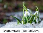 Beautifull Snowdrop Flower...