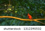 Red Cardinal On A Tree Branch...