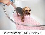 yorkshire terrier in the... | Shutterstock . vector #1312394978