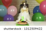 fancy dog papillon eating... | Shutterstock . vector #1312509422