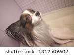 papillon dog in a towel after... | Shutterstock . vector #1312509602