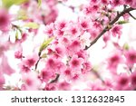 beautiful cherry blossoms in... | Shutterstock . vector #1312632845