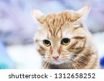 Stock photo ginger cat on the bed 1312658252