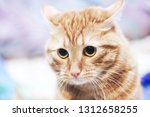 Stock photo ginger cat on the bed 1312658255