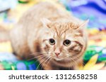 Stock photo ginger cat on the bed 1312658258