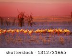 pink sunset and flamingoes in... | Shutterstock . vector #1312731665