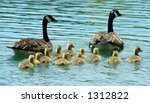 Canada Geese With Goslings...