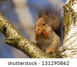 Squirrel On Birch