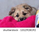 cute shaggy puppy | Shutterstock . vector #1312928192