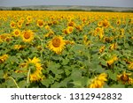 sunflowers field in summer | Shutterstock . vector #1312942832