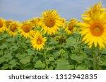 sunflower in the field | Shutterstock . vector #1312942835