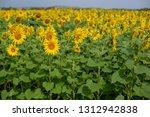 sunflowers field in summer | Shutterstock . vector #1312942838