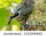 very cute blyth's shrike... | Shutterstock . vector #1312944602