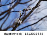 Close Up Flowering Branch And...