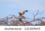 Wahlberg\'s Eagle   African...