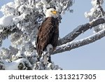 Winter Bald Eagle