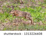 Stock photo european hare jumps over a bunch of twigs with blurred green background wild brown hare lepus 1313226608