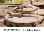 the monitor lizard sits on a... | Shutterstock . vector #1313271638