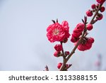 cherry blossoms in xuanwu lake  ... | Shutterstock . vector #1313388155