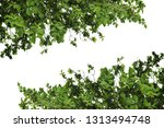 leaves of tree isolated on... | Shutterstock . vector #1313494748