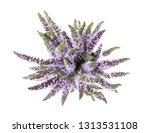 mentha spicata  spearmint ... | Shutterstock . vector #1313531108