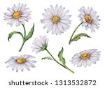 Set Of Watercolor Daisy  Hand...