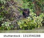Chimpanzee  Pan Troglodytes  I...
