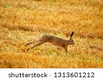 Stock photo european brown hare running 1313601212