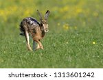 Stock photo european brown hare running 1313601242