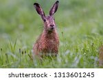 Stock photo european brown hare 1313601245