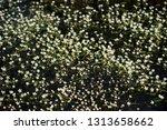 batrachium circinatum flowering ... | Shutterstock . vector #1313658662