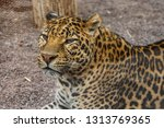 leopard lays on the ground in... | Shutterstock . vector #1313769365