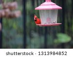 red male northern cardinal... | Shutterstock . vector #1313984852