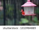 red male northern cardinal... | Shutterstock . vector #1313984885