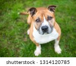 a red and white pit bull...   Shutterstock . vector #1314120785