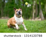 a playful red and white pit...   Shutterstock . vector #1314120788