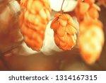 green hops. shallow depth of... | Shutterstock . vector #1314167315