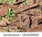 animal disguise. brown lizard... | Shutterstock . vector #1314240062
