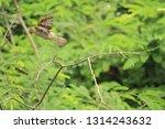 flying sparrow in yangon   Shutterstock . vector #1314243632