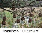 vink   finch nest hanging from... | Shutterstock . vector #1314498425