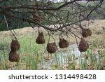 vink   finch nest hanging from... | Shutterstock . vector #1314498428